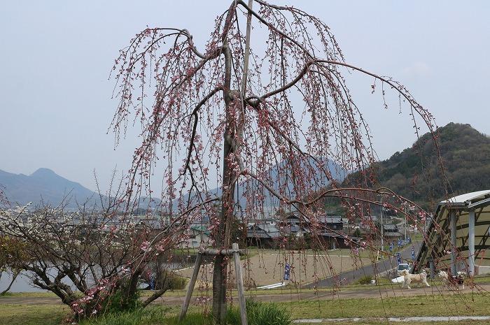 枝垂れ桜と散歩の犬たち 31 3 28