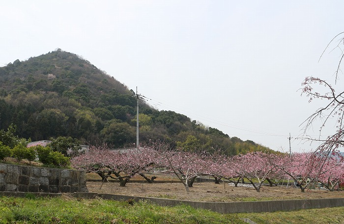山条山と桃畑 31 3 30