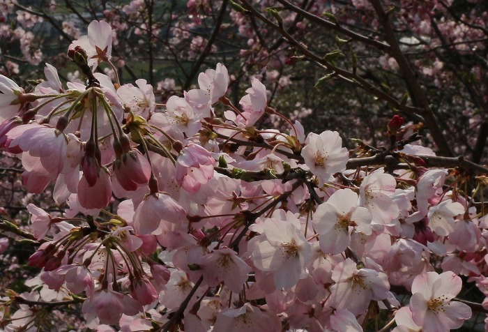 私の近くでは少し早く咲く桜 31 3 30