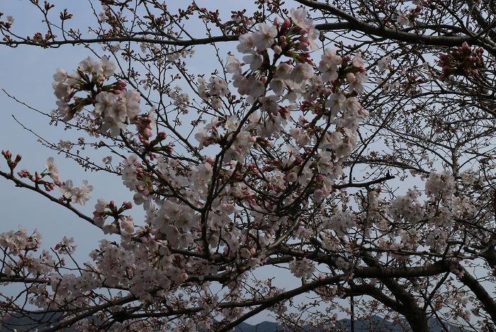 6部咲き桜 文化センター 31 3 30