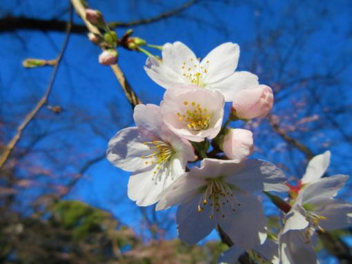 202  桜開花(1)