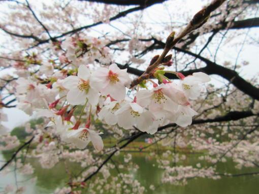 202  桜満開(1)