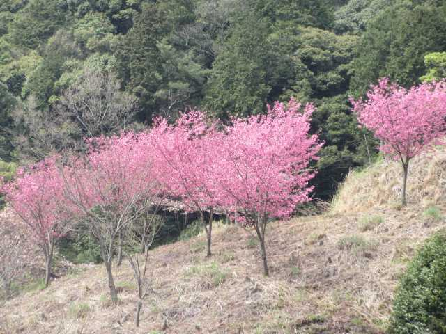 IMG0067JPGピンクの桜7