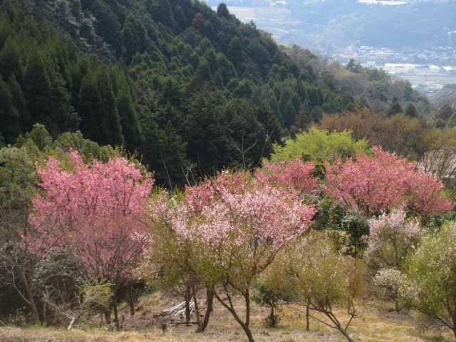 IMG0069JPG桜8