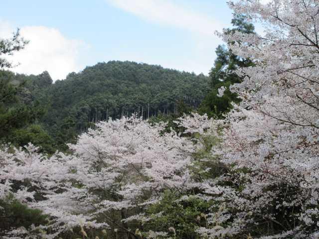IMG0099JPG桜11