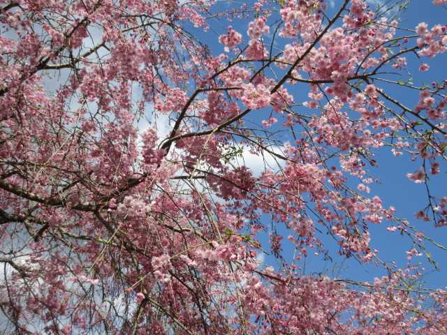 IMG0109JPG桜12