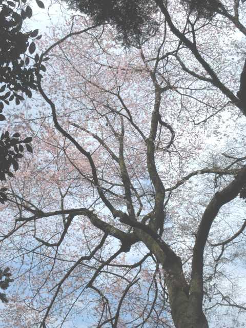 IMG0027JPG平家桜