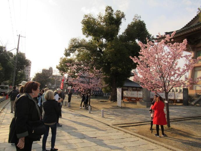 190312桜 (1)