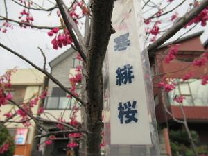 190315寒緋桜 (1)