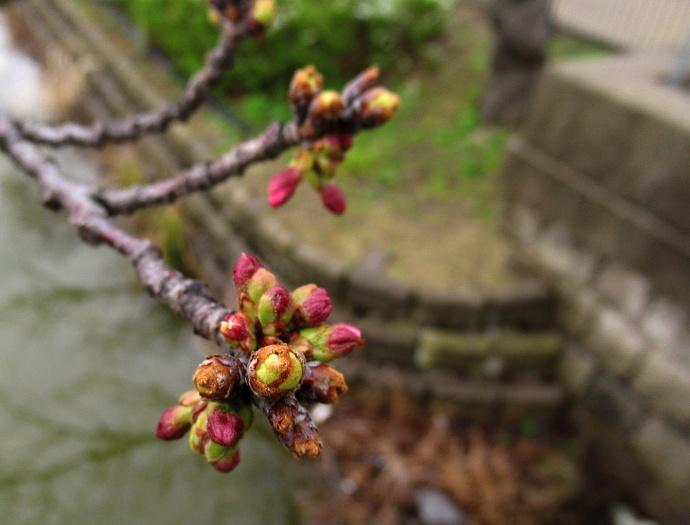 190321桜 (1)