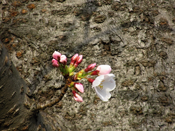 190325桜