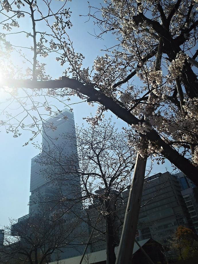 190404桜 (1)