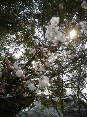 桜201901
