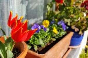 tulipsviolas0319