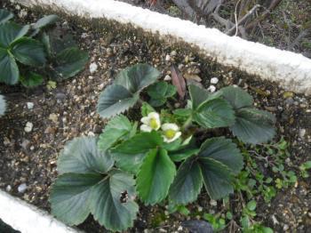 3-28イチゴ花