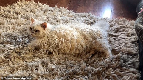 11996240-6898173-Very_fluffy_cat_on_fluffy_rug_Laura_says_she_can_t_tell_rug_and_-a-1_1554713775585