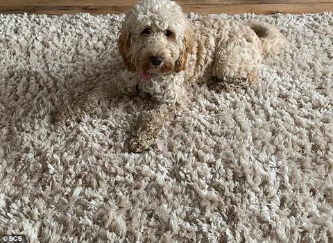 10316788-6898173-Maddie_a_nine_month_old_pockapoo_poses_on_her_family_s_rug_Maddi-a-12_1554712791584