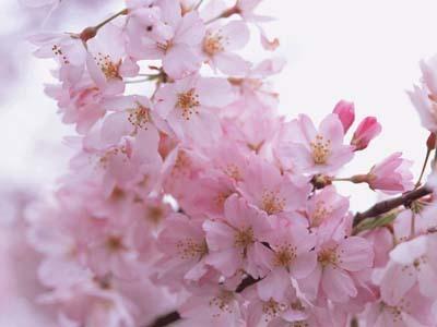 桜 ブログ3