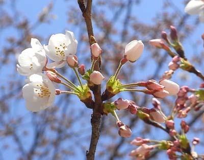 new桜 つぼみ1 ブログ