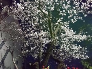 DSC_0954夜桜