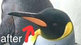 旭山動物園 ペンギン くちばしのオレンジ色の部分は、一年に一回はがれる2