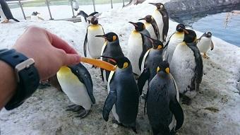 旭山動物園 ペンギン くちばしのオレンジ色の部分は、一年に一回はがれる4