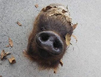 鹿児島市平川動物公園 ニホンイノシシ タロウ 鼻