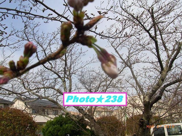 0327桜①
