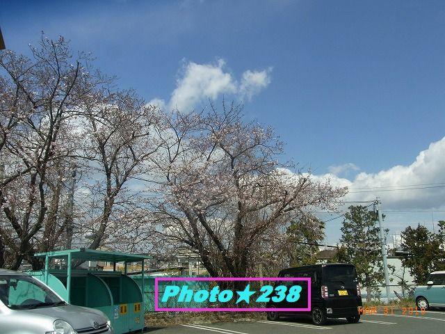 ドラックストアの桜。