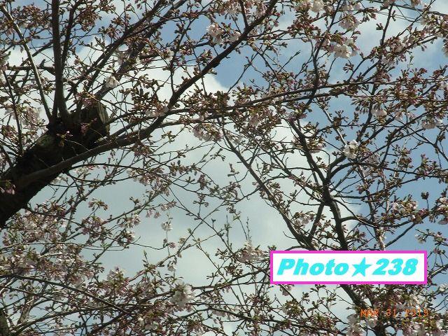 公園の桜①