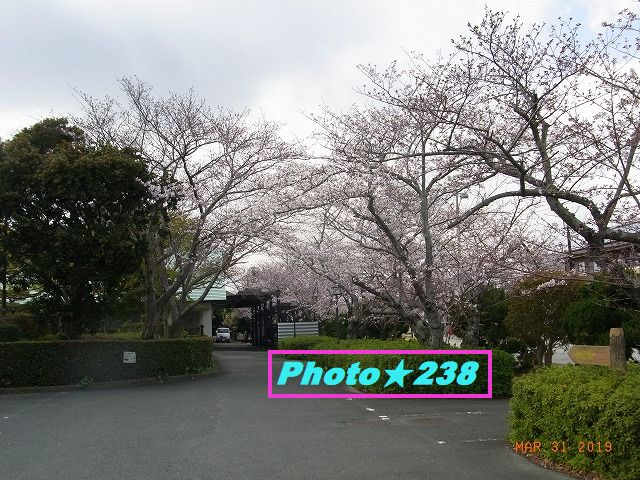 公園の桜②