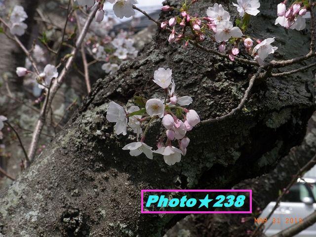 公園の桜③