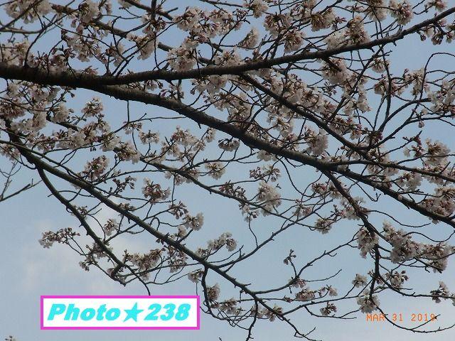 公園の桜④