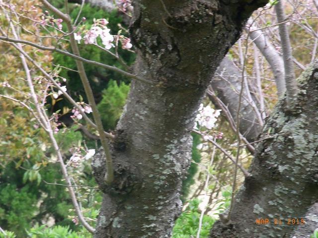 公園の桜⑤