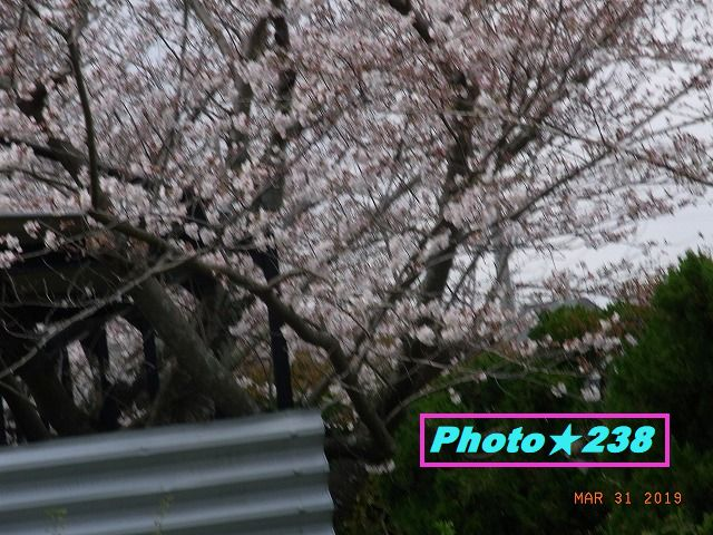 公園の桜⑥