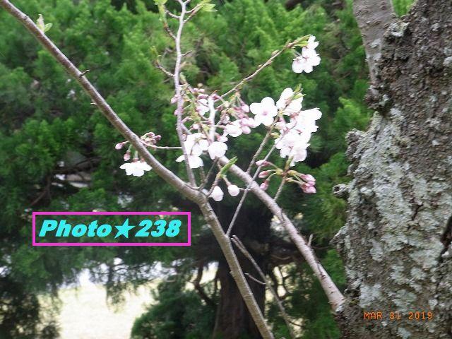公園の桜⑦