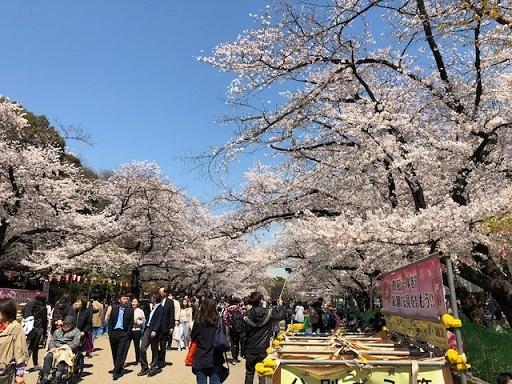 上野の桜1