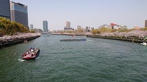 桜之宮橋から見た大川桜