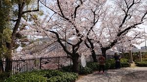 桜之宮橋と桜