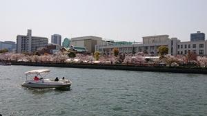 造幣局と桜