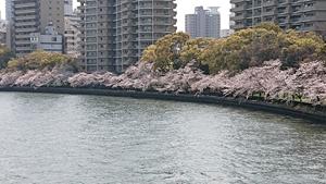 都島橋から見た桜