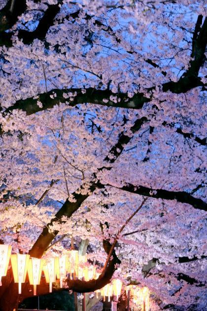夜桜_convert_20190403183155
