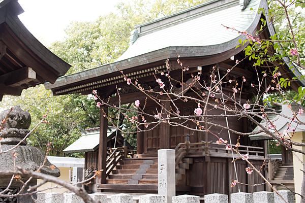 島田神社天満宮梅の終わり