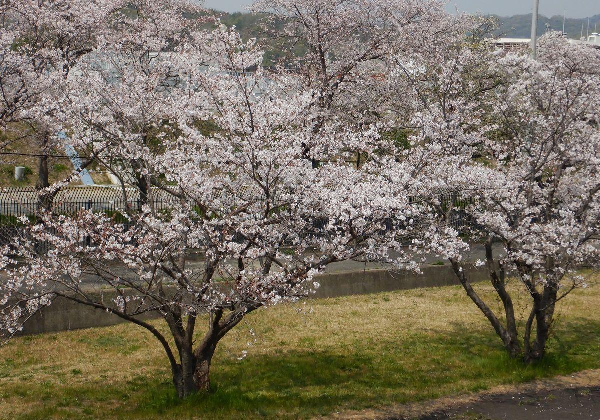 桜19 A1