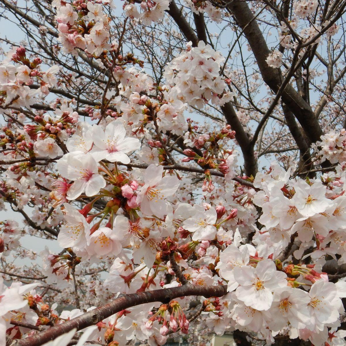桜19 A4