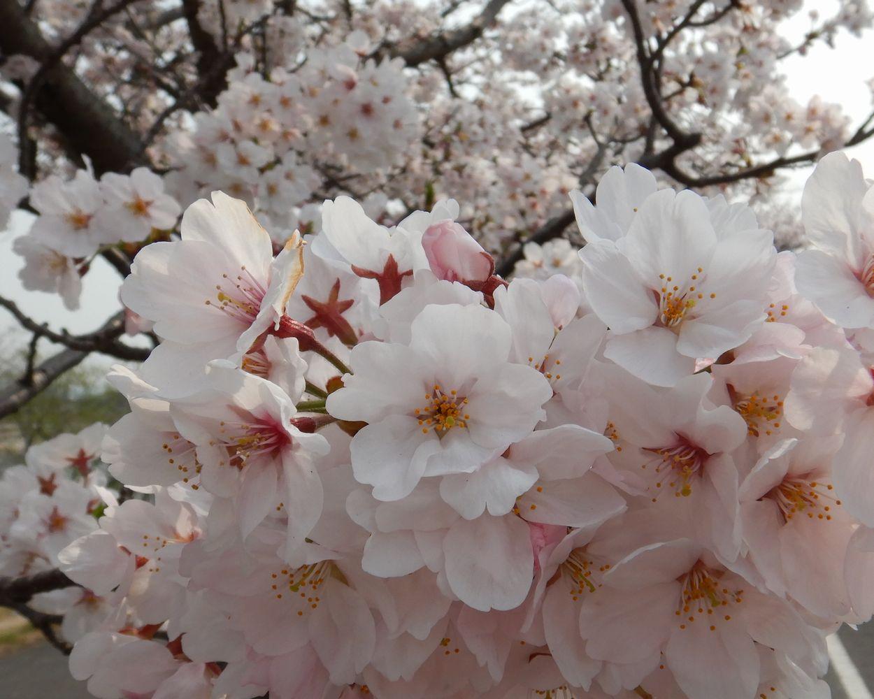 桜19 A3