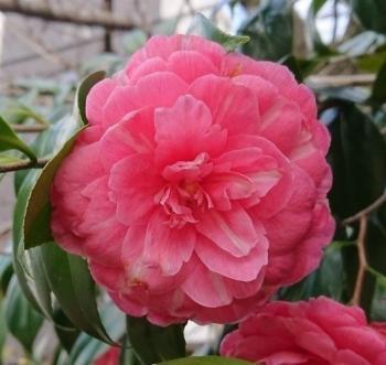ピンク椿 350