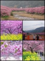 伊豆河津町の河津桜祭2019 河津桜まつり2019