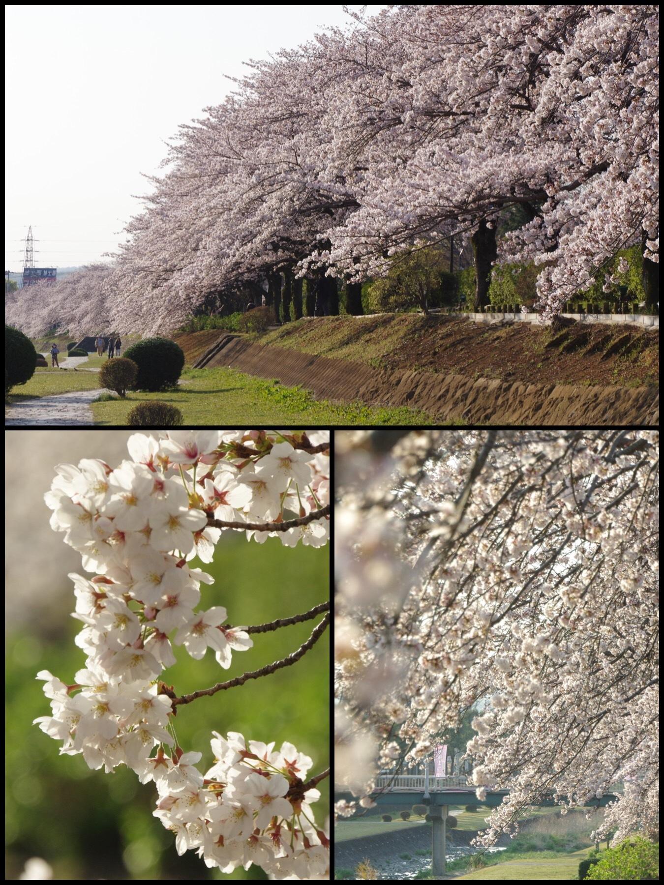 秦野カルチャーパーク はだの桜道 水無し川通沿い桜並木