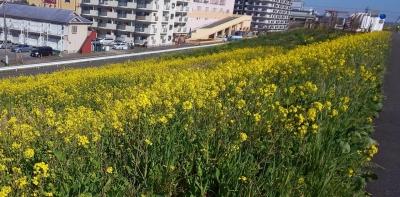 江戸川堤 菜の花畑